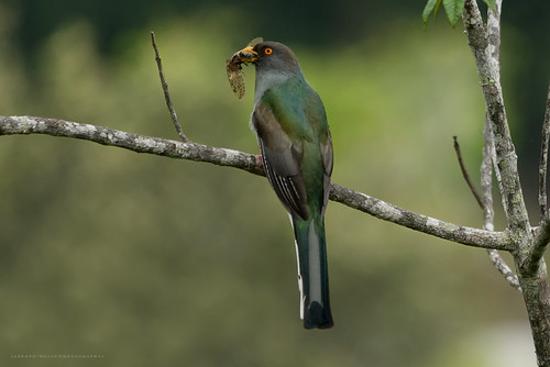 Priotelus roseigaster/Trogón de la Española/Papagallo hembra Juvenil