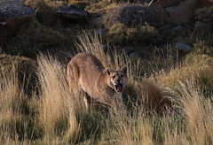 Puma having a big yawn and stretch whilst looking up at me (Paul Cottis) Tags: chile patagonia mammal 10 bigcat april puma cougar mountainlion mrsc 2015 paulcottis