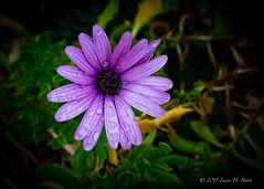 20150617-Rain-drops-on-lilac-petals (Degilbo on flickr) Tags: petals raindrops nobby nsa lilacflower topazinfocus fujifilmxpro1 fujinonsuperebc35mm114 lightroomcc