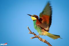 Abejaruco (Jorge Lzaro Fotografa) Tags: naturaleza fauna aves pjaro abejaruco abellerol