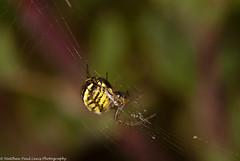 Mangora acalypha - ID thanks to Alan Thornhill [https://www.flickr.com/photos/85900354@N05] (Tubs McHam) Tags: macro spider wildlife sigma105mmmacro extentiontubes importedkeywordtags marumiringflash matthewpaullewis tubsmcham