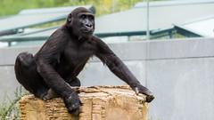 Gorilla (No_Water) Tags: de deutschland stuttgart badenwrttemberg wilhelmajuni2015stuttgartzootiereindooroutdooraffetiger wilhelmajuni2015stuttgartzootiereindooroutdooraffetigerbr