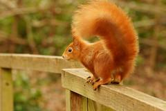 Red squirrel (P_1_B) Tags: nature squirrel wildlife sigma isleofwight redsquirrel sigma150500 sonya77 slta77 slta77v sonya77v arretonmeadsnaturereserve