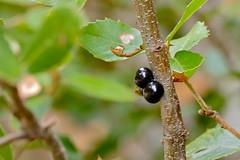Scale Insects (Kermes ilicis) on Holm Oak (Quercus ilex) (berniedup) Tags: monslatrivalle holmoak quercusilex scaleinsect herault kermesilicis taxonomy:binomial=kermesilicis gorgesdheric