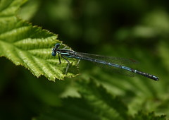 A White-legged Damselfly (Platycnemis pennipes) [Explored] (Kel1y J) Tags: whiteleggeddamselfly platycnemispennipes