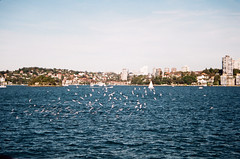 you are the gull, Jo (veins) Tags: ocean seagulls film water birds 35mm flying sydney free