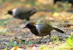 / White-necked Laughingthrush / Garrulax strepitans (bambusabird) Tags: bird nature forest canon thailand rainforest natural wildlife tropical oriental 500mm laughingthrush