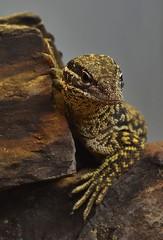 Lizard _DSC0091 (ikerekes81) Tags: zoo washingtondc dc nikon reptile lizard national nationalzoo nikond3200 dczoo smithsoniannationalzoologicalpark d3200 washingtondczoo reptilediscoverycenterzoonationalnational