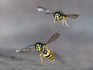 Don't know what's happening with the wildlife this year, this time last year I had found several Wasp nest sites ,this year I have been back to the same sites and not seen a single wasp,  anyone in the Wigan area seen any?
