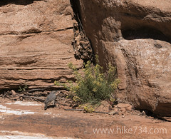 """Canyon Wren • <a style=""""font-size:0.8em;"""" href=""""http://www.flickr.com/photos/63501323@N07/20173840922/"""" target=""""_blank"""">View on Flickr</a>"""