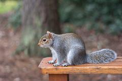 My Little Buddy (fotojak1) Tags: squirrel rodent animal wildlife edinburghsquirrels outdoor outside scotland autumn cute bushytail easterngray edinburgh botanicgraden handheld nikkor50mmf18 nikond7100 johnritchie f18at1640 iso1250