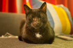IMG_7002 (BalthasarLeopold) Tags: animal animals balthasar blackcat blackcats cat cats closeup dephtoffield dof feline felines indoorcat kitten kittens leopold pet pets