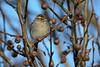 Chipping Sparrow by Jackie B. Elmore 12-27-2016 Lincoln Co. KY (jackiebelmore) Tags: spizellapasserina chippingsparrow sparrow lincolnco kentucky nikon7100 tamronsp150600f563 jackiebelmore kos