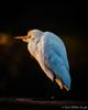 Cattle Egret (DonMiller_ToGo) Tags: wildlife venicerookery midnight nature onawalk birds outdoors birdwatching egret d810 florida nik