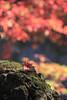 秋 Autumn Colors _IMG_2500 (阿Len) Tags: 楓葉 autumn 武陵農場 台中 maple 秋天 6d 70300 ef70300mmf456isusm 小小黑 wulingfarm 台中市 和平區 武陵 紅葉 台灣影像 taiwan taichung 台灣 fall 風景攝影 landscape plant 景深 戶外 outdoor bokeh