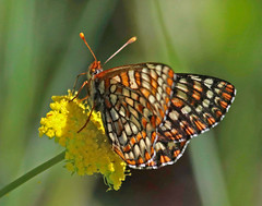 CAD0001538a (jerryoldenettel) Tags: 2016 canadadecachon chalcedoncheckerspot euphydryaschalcedona nm nymphalidae nymphalinae rioarribaco variablecheckerspot butterfly checkerspot insecteuphydryas