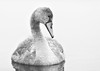 'What Will Be?' (Jonathan Casey) Tags: cygnet blackandwhite jonathancaseyphotography nikon d810 swan 200mm f2 vr portrait