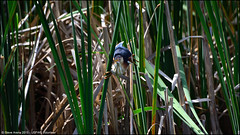Least Bittern (Ixobrychus exilis) (Steve Arena) Tags: ixobrychusexilis lebi leastbittern bittern marshbird gmnwr concord middlesexcounty upperpool massachusetts 2015 concordimpoundments iba