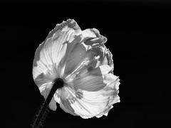 Monochrome Poppy (++sepp++) Tags: garten natur garden nature blüte blossom mohn poppy bw blackwhite monochrom sw schwarzweis einfarbig closeup nahaufnahme macro makro gegenlicht backlight backlit ruby3