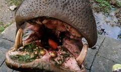 p (catherineromero1) Tags: hipopotamo