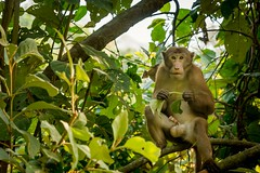 Monkey of Sitakunda Echo Park! (Curious ClickZ of Rezwanul Alam) Tags: monkey nature wildlife outdoor beautifulbangladesh cute canoneos70d lightroom trees eye ecopark leaves branches green naughty