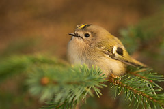 Common Goldcrest Regulus regulus (janmangorfagerland) Tags: animal birds bird birdphoto birdsgallery bokeh birding birdsofnorway birdswildlifenaturenikon300mmvrii2 d800e 300mmvrii28g fagerland field fugler flickr fuglebilder gallery photography photo islands nikon wildlife jan janfagerland karmøy skog landscape planet mangor norway nature norge natur outdoor ornithology supertele fuglekonge