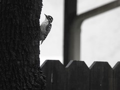 Female Downy Woodpecker (sonstroem) Tags: woodpecker rain raining downywoodpecker dryobatespubescens monochrome stark