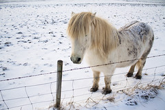 Viking_Horse (7) (Melissa Boodoo) Tags: horse viking traveling travel iceland snow ice fire volcano explore create shoot2kill icelandtravel neverstopexploring nature animals animal fur sunny sun morning early roadtrip roadstop natural life europe winter north northernlights chasing