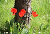 Des tulipes rouges (vavie2012) Tags: tulipe fleur rouge jardin tronc herbe nature bouquet offrir pelouse césped tulipán tulip flower flores rojo jardín tronco árbol hierba vert verde naturaleza ramo regalar grass red green garden