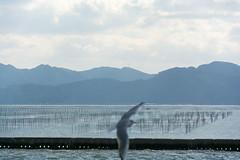 DSC_6825.jpg (kTomoyuki) Tags: 鷗 鴎 seagull カモメ かもめ 熊本市 熊本県 日本 jp