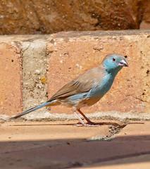 Blue Waxbill (Uraeginthus angolensis) male (berniedup) Tags: ntshondwe ithala bluewaxbill uraeginthusangolensis waxbill taxonomy:binomial=uraeginthusangolensis