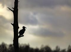 Grand Cormoran (matthew0310851) Tags: cormoran belgium bernissart marrais ciel lumière oiseaux birds contrejour canon 5dmarkiii sigma