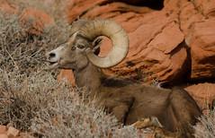 Spots-14 (QuakeUp!) Tags: 2017 colinjmcmechanphotography desertbighornsheep nevada nikond7000 spots tamron150600 usa valleyoffirestatepark desert ram sandstone wildlife