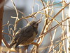 Brown-eared bulbul (Hypsipetes amaurotis) (SeinHime) Tags: bird animal outdoor superzoom macro canon japan nature ヒヨドリ 日本 自然