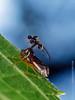 Bocydium globulare (ball bearing treehopper) (Techuser) Tags: insect brazilian insects insetos do brasil brazilianfauna macro wildlife close epl5 animal mataatlantica cigarrinha soldadinho