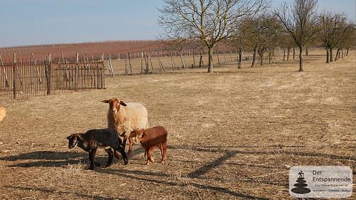 Schafe bei Selzen