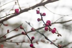 IMGP5528-6 (zunsanzunsan) Tags: 下日枝神社 山王森梅林 日和山 日枝神社 梅 神社 酒田市
