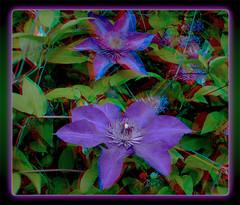 Clematis Flower Popout 1 - Anaglyph 3D (DarkOnus) Tags: flowers flower macro closeup lumix stereogram 3d vines pennsylvania clematis scenic vine anaglyph climbing stereo stereography buckscounty ttw popout redcyan dmcfz35
