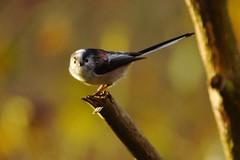 Long-tailed tit (P_1_B) Tags: nature bedfordshire sigma longtailedtit thelodge rspb sigma150500 rspbthelodge sonya77 slta77 slta77v sonya77v