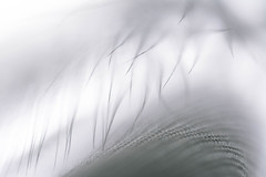 Light as a feather (Captured Heart) Tags: light white macro soft feather naturallight mysterious subtle mostlywhite macromondays