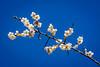 Plum Blossoms (Pai Shih) Tags: flowers nature flora nikon plum plumblossoms nikond7100