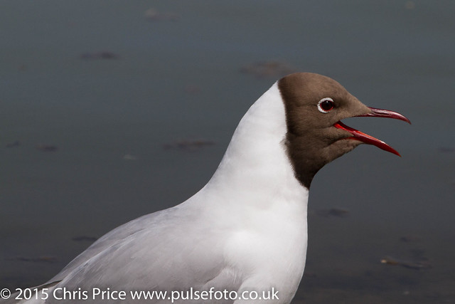 Black-Headed Gulls at Arundel WWT