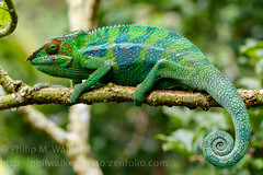 Panther Chameleon (Phil Walker Photo) Tags: blue red macro green wet colors horizontal rainforest colorful branch colours bright reptile fav20 colourful endemic chameleon madagascar perpendicular sideon brightlycolored fav10 pantherchameleon curledtail brightlycoloured eastmadagascar