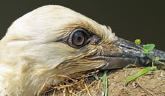 IMG_4452 extreme close-up of one month old stork (pinktigger) Tags: italy bird nature italia stork cegonha cigüeña friuli storch ooievaar fagagna cicogne cicogna oasideiquadris feagne alittlebeauty coth5