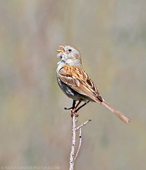 Field Sparrow (Nick Saunders) Tags: singing song sparrow northdakota fieldsparrow nicksaunders