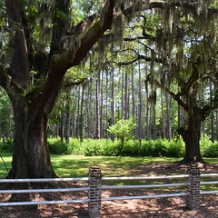 Laurel Springs Plantation in Green Pond, SC. Perfect spot for a rest. #TheWorldWalk #sc #travel #tree #twwphotos