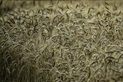 Campo di grano (Paolo Morone) Tags: verde italia wheat natura campagna piemonte giallo campo cuneo rosso oro grano farina agricoltura spiga spighe roero coltivazione agricoltore coltivare