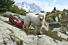 That's funny. She told me to guard the picnic. (balu51) Tags: schnee red summer dog white mountain snow alps rot juni lunch happy grey switzerland high waiting break afternoon hiking plateau berge hund backpack pause rucksack rast weiss guarding kuvasz felsen wanderung 2015 graubnden hochebene copyrightbybalu51