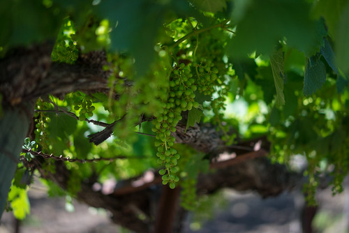 Baby Grapes, Calistoga, CA