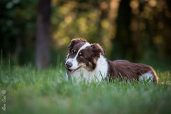 Les chiens d'Anglique (Aline Caid - Aline Passion Photo) Tags: chien australien